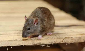 Rodent Control in Chennai